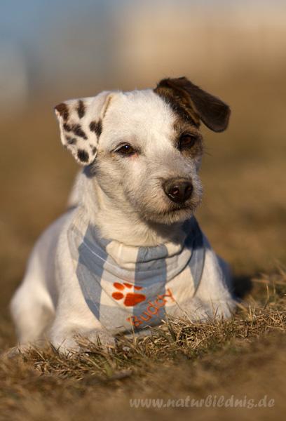 Jack Russel Terrier Buddy