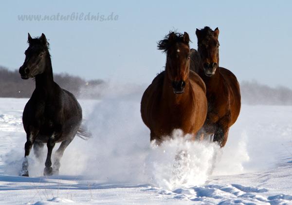 Schneeshooting bei Matari Arabians