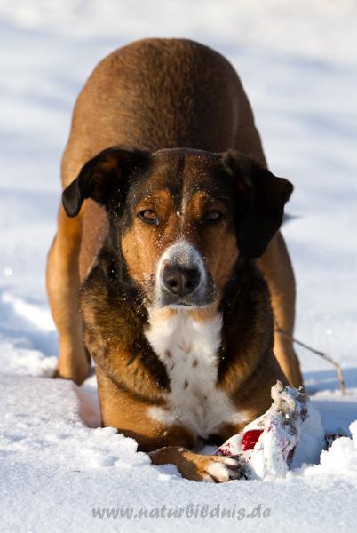 figur appenzeller sennenhund