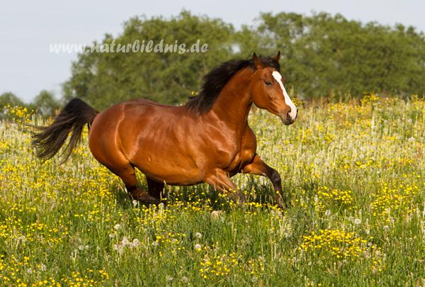 Dt. Sportpferd Arkona