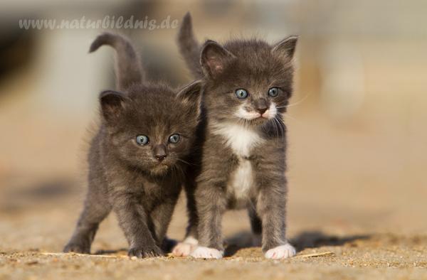 Waldkatzenbabys