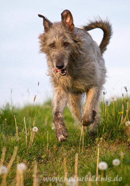 Irischer Wolfshund Eddie