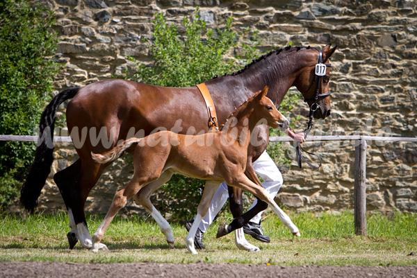 Dt. Sportpferd - Hengstfohlen zur Fohlenschau in Altzella