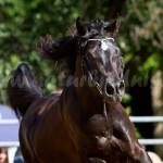 Sachsenaraber Schau, White Horse Ranch 2012